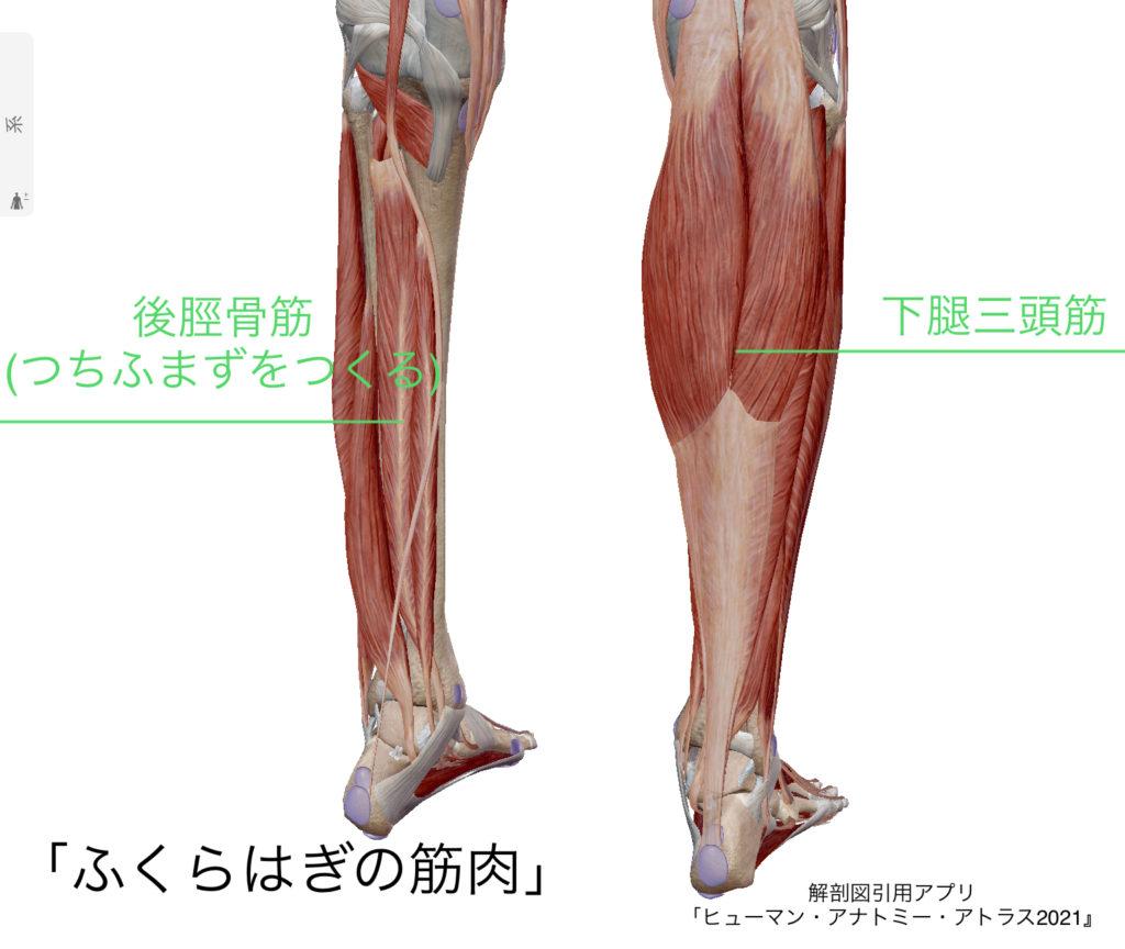 下腿の解剖図