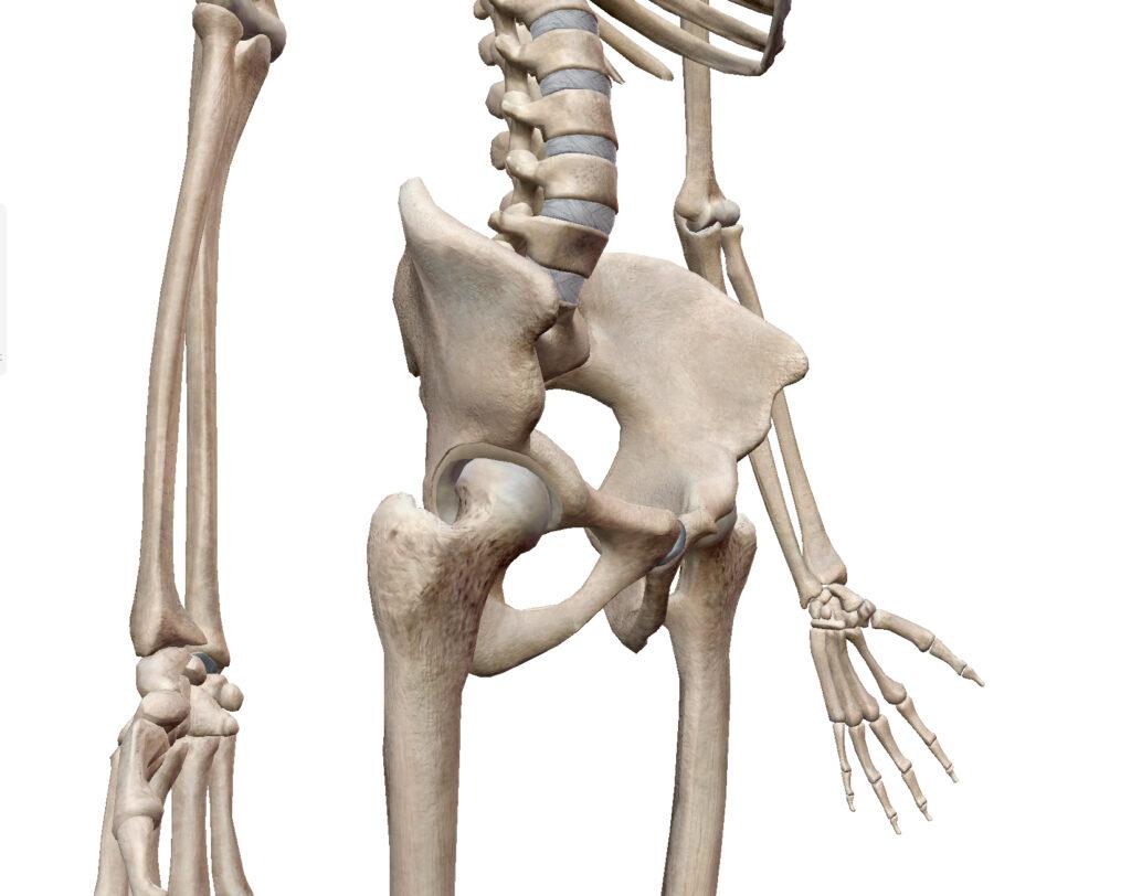 股関節の骨解剖図
