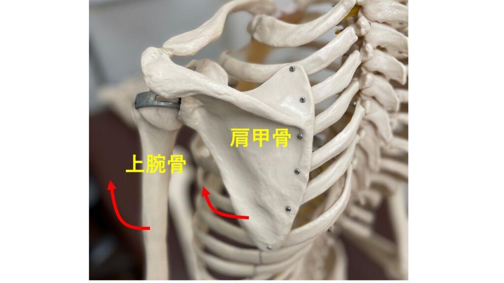 肩関節挙上時の関節の仕組み
